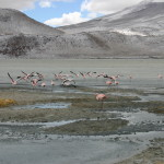 Flamingos bei Minusgraden