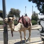 Kamele gibt es hier auch