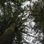 Wunderbaum 1